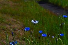 Manosee los wildflowers de polinización de la abeja Imagen de archivo libre de regalías