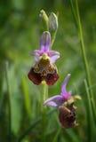 Manosee raramente la orquídea de abeja - holoserica del ophrys Imagenes de archivo