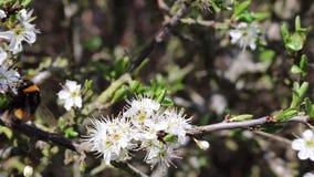 Manosee volar de las flores de la abeja almacen de video