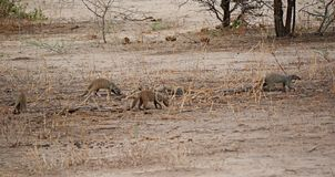 Manouasts of Ngorongoro safaris - Tarangiri in Africa. Mongoose family, beautiful view of Africa, beautiful animal, jeep safari in Tarangiri - Ngorongoro Royalty Free Stock Images