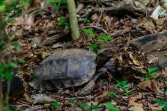 Manouria emys phayeiBiyth, 1853 lub Azjatycki Gigantyczny Tortoise, Zdjęcie Stock
