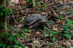 Manouria emys phayeiBiyth, 1853 lub Azjatycki Gigantyczny Tortoise, Fotografia Stock