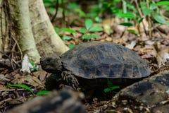 Manouria emys phayeiBiyth, 1853 lub Azjatycki Gigantyczny Tortoise, Zdjęcie Royalty Free