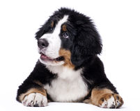Mans best friend. Young Bouvier Bernois or Berner Sennen, portraied on white background Royalty Free Stock Images