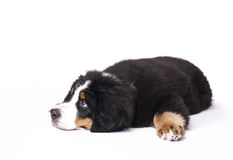 Mans best friend. Young Bouvier Bernois or Berner Sennen, portraied on white background Stock Image