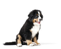 Mans best friend. Young Bouvier Bernois or Berner Sennen, portraied on white background Stock Photos