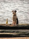 Mans best friend. Dog enjoying a bottle of wine on the beach Stock Images