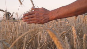 Mans hand amongst ears of wheat stock footage
