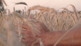 Mans hand amongst ears of wheat stock video footage