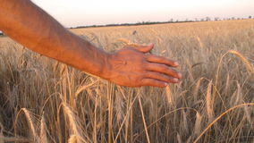 Mans hand amongst ears of wheat stock video