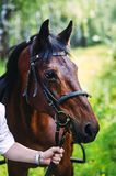 Mans hand holding a black horse for bridles Royalty Free Stock Image