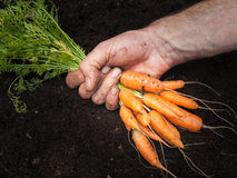 Mans hand holding a bunch of carrots Stock Photo