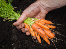 Mans hand holding a bunch of carrots Royalty Free Stock Photo
