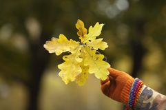 Mans hand holding oak leaves Royalty Free Stock Photo
