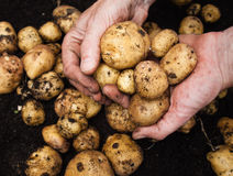 Mans hand holding potatoes Stock Images