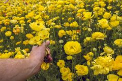 Mans Hand holding and touching yellow buttercup flower stock photos