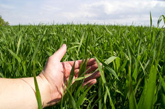 Mans hand i de unga gröna forsarna av vete Royaltyfri Bild