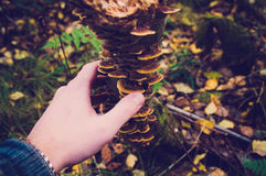 Mans hand with mushrooms on tree royalty free stock photography