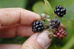 Mans hand picking blackberries. Stock Image