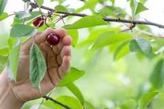 Mans hand picking up cherry from a fruit tree, harvest and farming concept, copyspace stock images