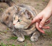Mans hand som klappar denstrimmig katt katten Arkivbilder