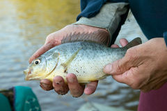 Mans hands holding a freshwater bream fish. A closeup of a man holding a line caught freshwater bream on the banks of a river Stock Photos