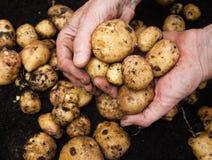 Mans hållande potatisar för handen Arkivbilder