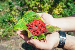 Mans palms full of the fresh-picked forest raspberries Rubus idaeus lying on a raspberry leaf Stock Photos