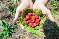 Mans palms full of the fresh-picked forest raspberries Rubus idaeus lying on a raspberry leaf Stock Photo