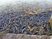 Mansar Lake pet fishes Royalty Free Stock Photography