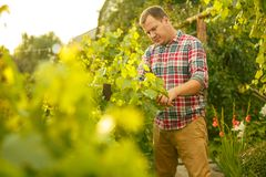 Free Mant Prune Grape Brunch, Work On A Family Farm Stock Image - 121135991