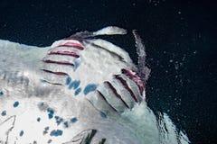 Manta есть планктон криля на ноче Стоковые Фото