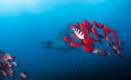 Ένα manta σκοπέλων με ένα σχολείο των φωτεινών κόκκινων ψαριών Στοκ Φωτογραφίες