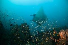Μια χαριτωμένη ακτίνα manta Στοκ Εικόνες