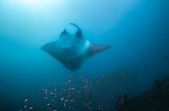 Μια τοποθέτηση ακτίνων manta κοιλιά-επάνω για μια φωτογραφία Στοκ Εικόνες