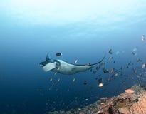 Manta alle Maldive Fotografie Stock Libere da Diritti