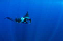 Manta royalty free stock photo