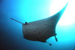 Manta birostris royalty free stock photography
