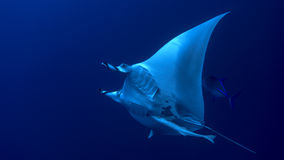 Manta birostris Royalty Free Stock Photos