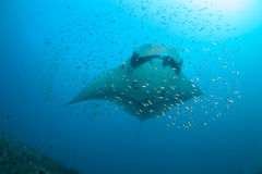 A manta birostris surrounded by fish Stock Images