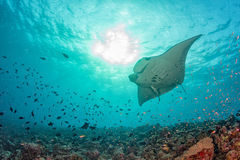 Manta in the blue background. While diving maldives royalty free stock photo