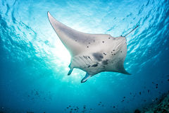 Manta in the blue background Stock Images