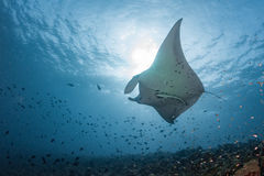 Manta in the blue background Royalty Free Stock Photography