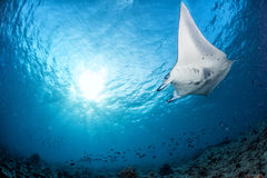 Manta in the blue background Stock Photography