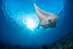 Manta in the blue background. While diving maldives stock images