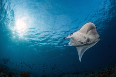 Manta in the blue background swiimming close Stock Photo