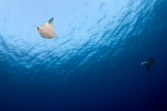 Manta in the blue ocean background portrait Royalty Free Stock Photography