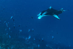 Manta in the blue ocean background portrait Royalty Free Stock Photo