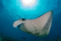 Manta in the blue ocean background portrait Stock Photography
