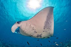 Manta in the blue ocean background portrait. Manta in the blue background while diving maldives royalty free stock images